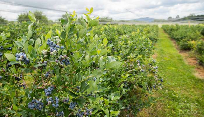 The blueberry season is on our doorstep!